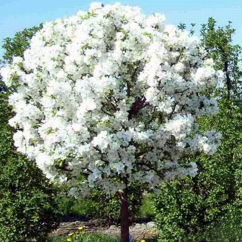 Яблоня декоративная malus purpurea royalty | garden plants.