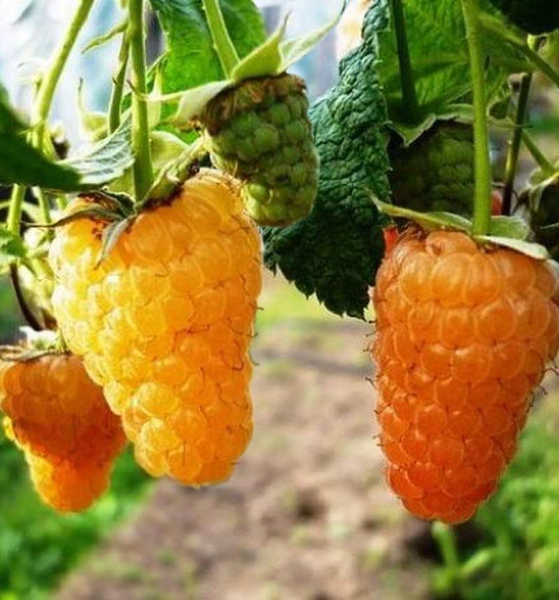 Ремонтантная малина оранжевое чудо выращивание и уход обрезка 2