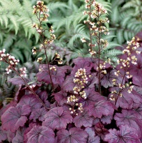 "Гейхера ""Плюм Роял"" (Heuchera Plum Royale)"