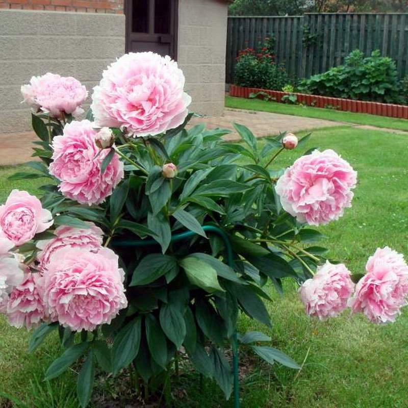 Цветущие кустарники для дачи - названия и фото растений 95