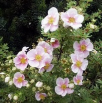 "Лапчатка кустарниковая ""Пинк Квин"" (Potentilla fruticosa ""Pink Queen"")"