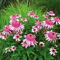 "Эхинацея пурпурная ""Пинк Дабл Делайт"" (Echinacea purpurea ""Pink Double Delight"")"