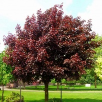 "Клен остролистный ""Роял Ред"" (Acer platanoides ""Royal Red"")"