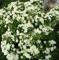 "Спирея ниппонская ""Джун Брайд"" (Spiraea nipponica ""June Bride"")"