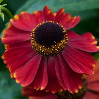 "Гелениум ""Рэд Джевел"" (Helenium ""Red Jewel"")"