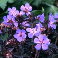 "Герань луговая Блэк Бьюти (Geranium pratense ""Black Beauty"")"
